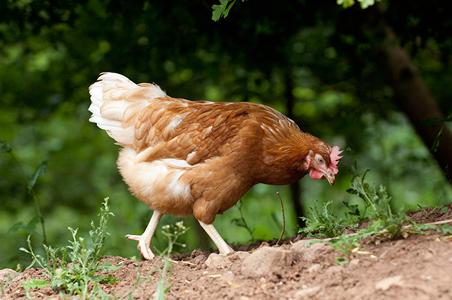Hen Walking