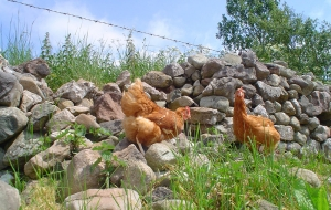 Hens and Wall