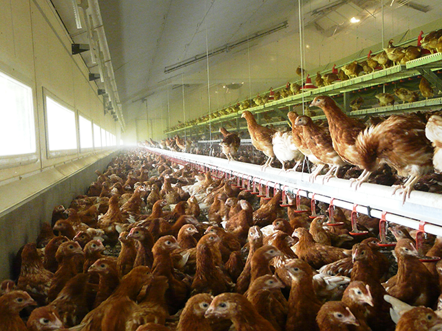 Hens Inside