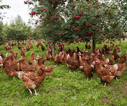 https://lakesfreerange.co.uk/wp-content/uploads/2014/06/hens1.png